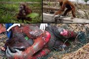 Napi 6-12 orángután pusztul el a pálmaolaj miatt